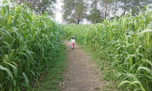crop maze